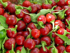 Cherry Bomb Pepper Red Round Hot 10 Finest Seeds - Liveseeds