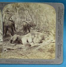 Stereoview Photo Ceylon Sri Lanka 1902 The Stockade Elephants Broken Out Kraal