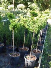 Gewöhnlicher wacholder Bonsais (Juniperus) - Bäume
