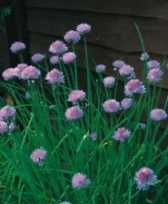 Organic - Herb - Chives - 75 Seeds - Economy Pack