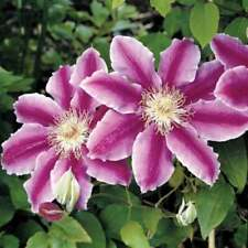 100 PCS Purpule Clematis Seeds Creeping Plants Perennial Flowers Best For Garden