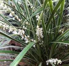 20 x STRIPEY WHITE Liriope muscari hardy variegated strappy plants in 75mm pots