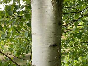 Betula Pendula Silver Birch Tree (extra large) 6-7ft Supplied in a 7.5 Litre Pot