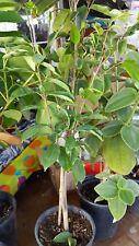 Soursop Tree - 1 Plant -  2 Feet Tall - Ship in  1 Gal Pot