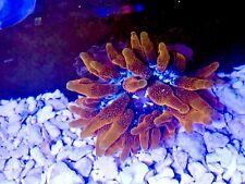 Colorado Sunburst Anemone