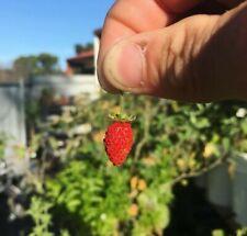 "Alpine Strawberry Seeds ""CANDY SWEET"" x10"