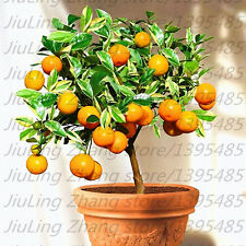 50 unids Mandarina ORANGE  SEEDS Fruta NARANJA Semillas de Árboles Bonsái,