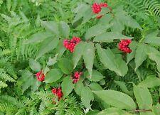 TOP rote Holunder: dekoratives Wildgehölz wird gerne von Wildtieren gefressen.