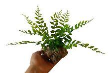Lovely Artificial Vivarium Plant :Maidenhair Fern Mounted onto cork bark