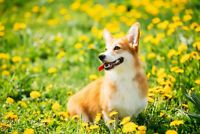 A1 | Cute Corgi Poster Art Print 60 x 90cm 180gsm Dog Puppy Flowers Gift #8622