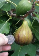 hardy Fig fruit shrub plant, FICUS CARICA BROWN TURKEY, self fertile, hardy