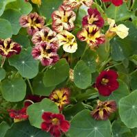 Nasturtium Prince Charming 25 Seeds Johnsons Seeds Flower Pictorial Pack
