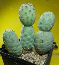 Tephrocactus geometricus 5 BIG BALL deep strong grafted copiapoa aztekium cactus