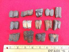 *Bulk Price* Horse Teeth Florida Fossils Fossil Tooth Jaw Bones Equus Ice Age Fl