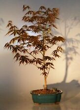 """Red Maple Bonsai Tree Japanese 10 years old 14"""" tall Outdoor Deciduous"""