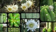 San Pedro Cactus - Echinopsis Trichocereus Pachanoi  2 cuttings