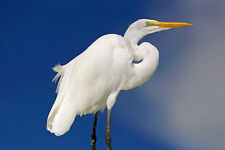 "GORGEOUS  GREAT EGRET PHOTOGRAPH MATTED 11""× 14"""