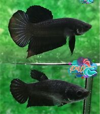 LIVE BETTA FISH PAIR M/F SUPER BLACK SOLID COLOR HMPK READY TO BREEDING (SBla3)