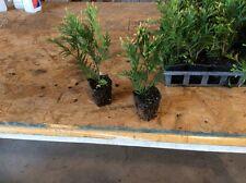 Green Giant Arborvitae Lot Of 6 Plants