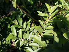 Fresh Organic GUAVA leaves 20 PC'S clipped and shipped same day from Florida