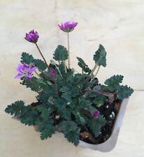 Pink Double Flower Erodium Reichardii Bonsai Accent Plant Fairy Garden Rock