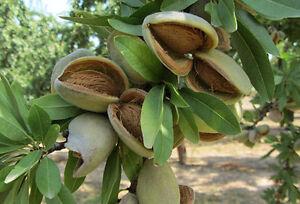 Mandelbaum 'Ferragnes' - Süßmandel - Winterharte Pflanze 130-160cm