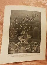 Living Corals -  Vintage Book Print