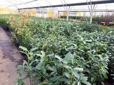 Kirschlorbeer Prunus Genolia 0,70 bis 1,00m 50 Pflanzen 530,00€ einschl. Versand