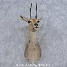 #14590 N | African Grey Rhebok Taxidermy Shoulder Mount For Sale