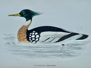 c1867 Antique Print RED BRST MERGANSER A History of British Birds by F.O. Morris