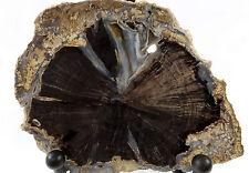 DIG-N-UTAH: POLISHED SLAB BLUE FOREST PETRIFIED WOOD EDEN VALLEY DISPLAY #H 64