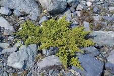 Dwarf Siberian juniper(Juniperus sibirica) 100 seeds