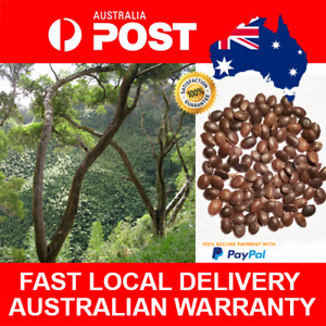 10pcs Acacia Confusa Seeds Formosa Wattle Seed Formosa Koa Formosan Koa
