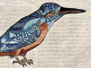 1669 KINGFISHER Finches - Conrad Gesner Folio 3 original woodcuts - hand colored
