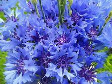 Kornblume Blau / Cenataurea cyanus -  ca. 500 Samen Großpackung