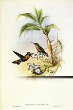 """1990 Vintage HUMMINGBIRD #250 """"BANDED RUBY"""" GORGEOUS GOULD Art Lithograph"""