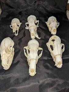 6 real animal skulls 4 Red fox and 2 Gray fox skeleton skull broke/missing teeth