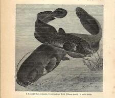 Stampa antica PESCE SILURO Silurus e BOTTATRICE Lota 1891 Old antique print