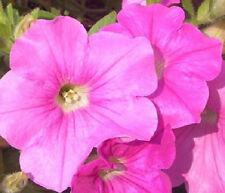 Easy Wave Pink  25 Pelleted Seeds Pelleted Petunia Seeds wave petunia