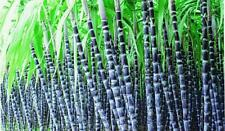 100PCs Sugar Cane Seeds Juicy Giant Very Juicy Organic Product For Your Home