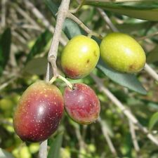 Frantoio Olive Tree - 2 to 3 Feet Tall