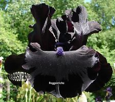 "Tall Bearded ""Midnight Oil"" Iris - Ebony Velvet Black '97 * Plant Pre-Sale"