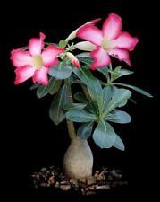 DESERT ROSE (Adenium obesum) 20 seeds