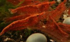 Lebendfutter Futter Garnelen Red Fire 22 Tiere