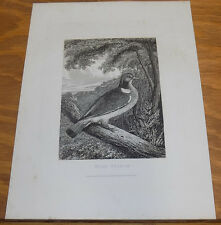 1823 Antique Animal Print///WOOD PIGEON, by Howitt