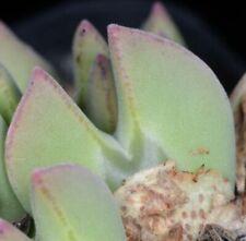 Conophytum regale Ratelpoort SB793, 20 seeds