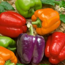 PIMIENTO COLORES  bell mix pepper 100 semillas / seeds