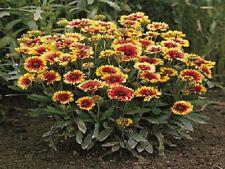 100 Gaillardia Seeds Goblin Blanket Flower Garden Starts Nursery