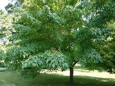 Acer davidii / Snake Bark Maple, desirable garden tree grown peat free, 4ft+
