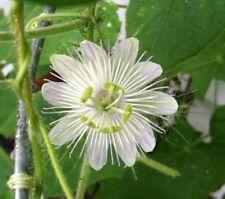 Passiflora foetida var. alba 2 plants